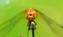 Yusufçuk kanatları drone tasarımlarına ilham veriyor