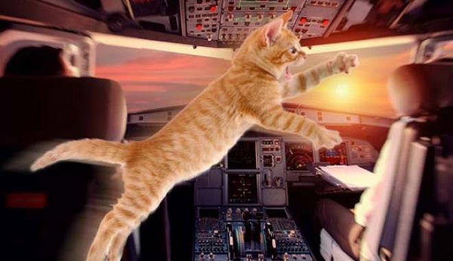 Havadaki uçağın pilotuna kedi saldırdı